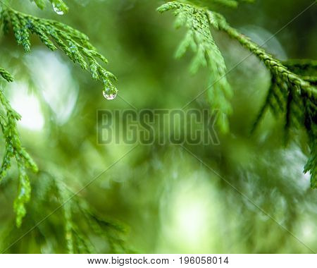 Morning Water Drops on Coniferous Branches in The Park Outdoors against Beautifully Blurred Background.