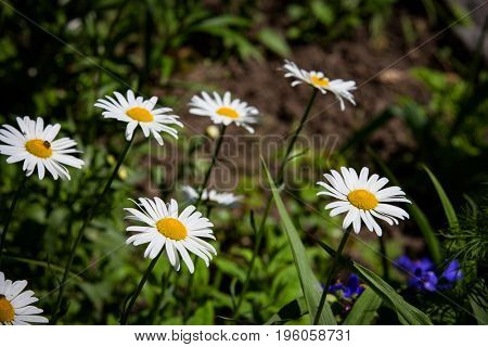 summer daisy flowers in garden