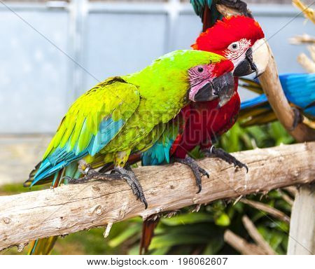 A pair of macaw parrots sit on a branch in the zoo