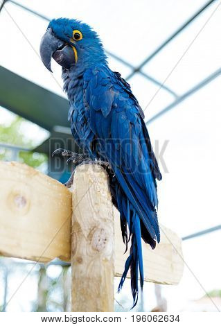 Big blue macaw parrot. A large bird in bright blue