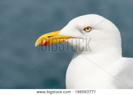 Common gull or seagull bird, Larus canus.  Falmouth Cornwall England.