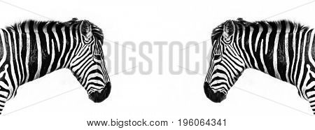 Plains zebra profile reflected. Horizontal banner in popular social media proportions.