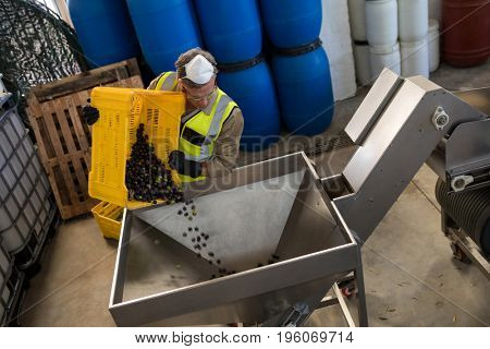 Worker putting harvested olive in machine at factory