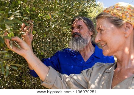 Couple examining olives on plant in farm