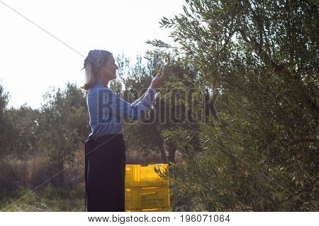 Woman harvesting olives from tree on a sunny day