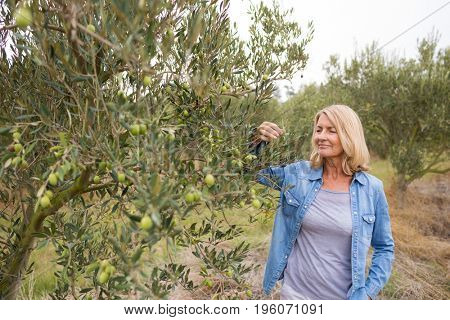 Female farmer checking a tree of olives in farm