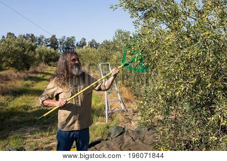 Farmer harvesting olive with rack in farm