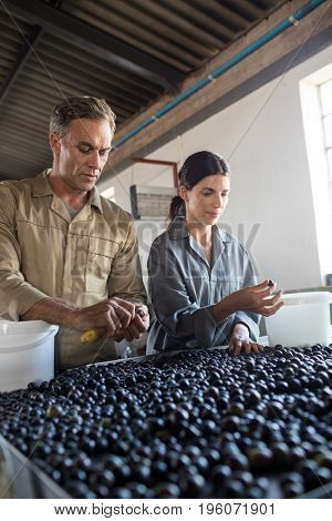 Attentive workers checking a harvested olives in factory