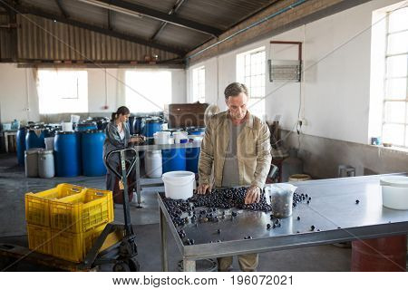Attentive worker checking a harvested olives in factory