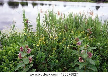 Common milkweed plants (Asclepias syriaca), white wild indigo (Baptisia alba macrophylla), and perforate St John's wort (Hypericum perforatum) bloom near a retention pond during June in Plainfield, Illinois.