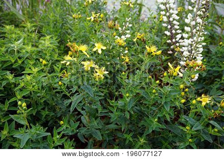 Perforate St John's wort (Hypericum perforatum) blooms in Plainfield, Illinois during June.