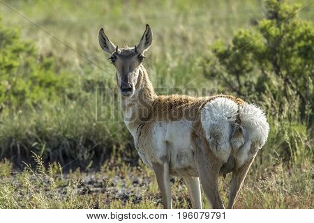 A pronghorn deer in the rocky grasslands of northeastern Wyoming.
