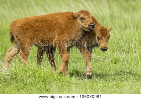 Playful young bison interacting with each other near Custer South Dakota.