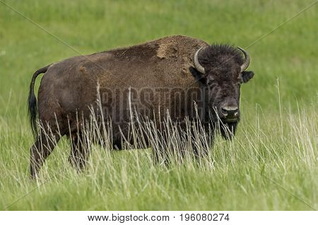 Sideview of large bison in the grassy field near Custer South Dakota.