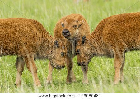 Three bison calves in field near Custer South Dakota.
