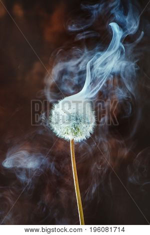 Dandelion close-up with rising white smoke on a dark wooden background