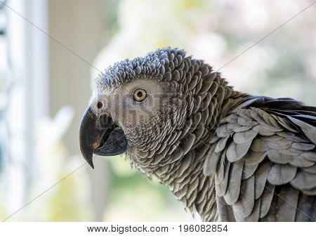 side profile head of African Grey parrot with bokeh background
