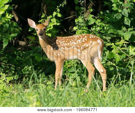 White-tailed deer spotted fawn in Pennsylvania field.