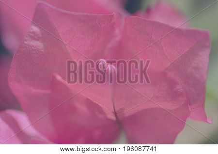 plant background the bracts and flowers of bougainvillea with selective focus