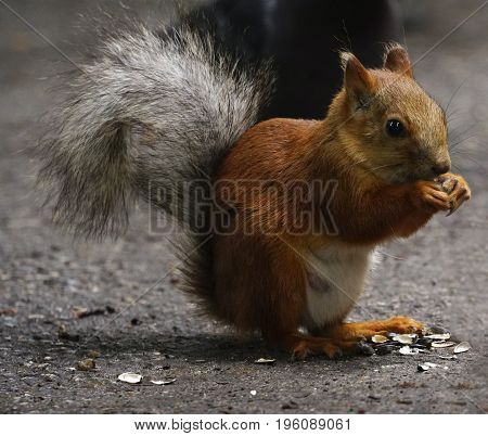 Squirrel sits on a path in the park. A red squirrel with a fluffy tail gnaw seeds. Close-up. Nature.