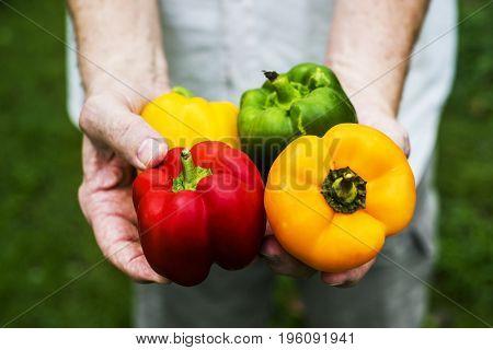 Hands holding fresh bell pepper