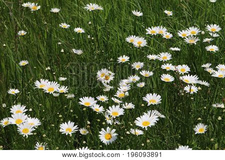 A field full of ox eye daisies appear.