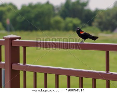 A red wing blackbird says hello when you walk by.