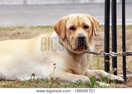 The sad dog breed Labrador a close-up