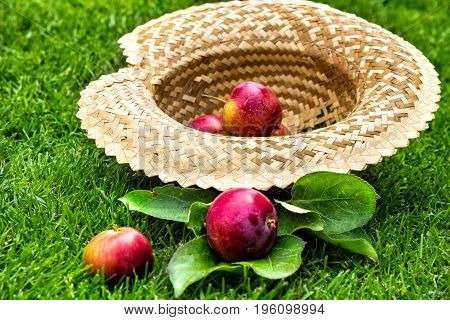 Apples in a straw hat. Fruit on green fresh grass in the garden.