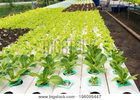 The Hydroponics In Farm. Organic Hydroponic Vegetable