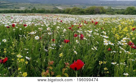 Landscape With Poppies And Chamomile...Spring flowers blossom chamomile and poppies...Smell of Spring