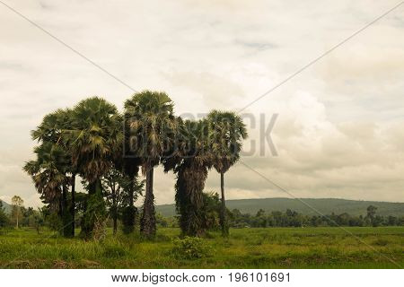 Green sugar palm tree on nature outdoors.