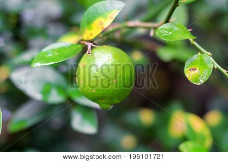 fresh lime  with leaf hold on the tree