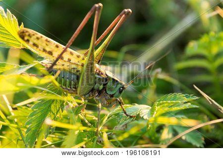 Grasshopper on the grass flowers Russia village summer
