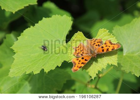 Buterfly Small pearl-bordered fritillary i on the vine leaves