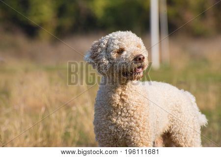 Portrait of beautiful laggoto romagnolo - truffle dog