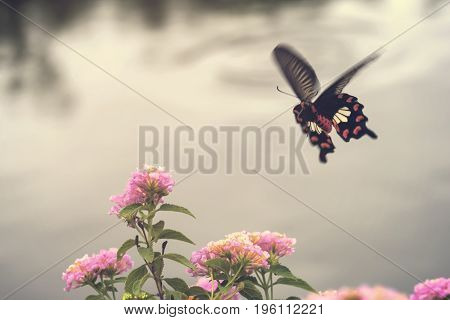Beautiful pink flowers with motion of flying butterfly. Common Rose Butterfly.