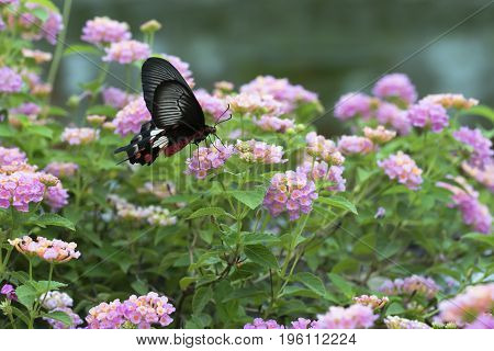 Red butterfly with Hedge flowers. Common Rose Butterfly