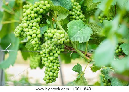 Close up young green grape in champagne vineyards at montagne de reims France