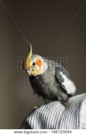 Parrot Corella. Exotic Gray Parrot