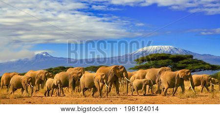 African elephants on a safari trip to Kenya and a snow capped Kilimanjaro mountain in Tanzania in the background, under cloudy blue skies.