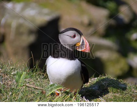 A single Atlantic puffin in breeding plumage