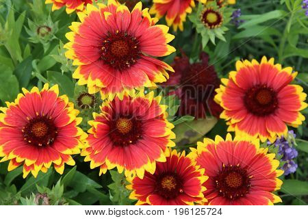 Perennial Gaillardia is popular flower in the summer garden
