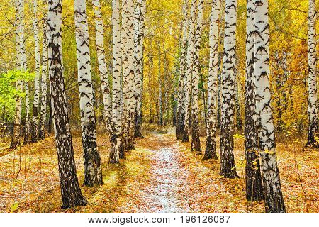 A path in a birch forest on a fall day