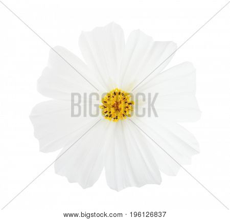 Cosmos flower isolated on white background. Garden Cosmos.