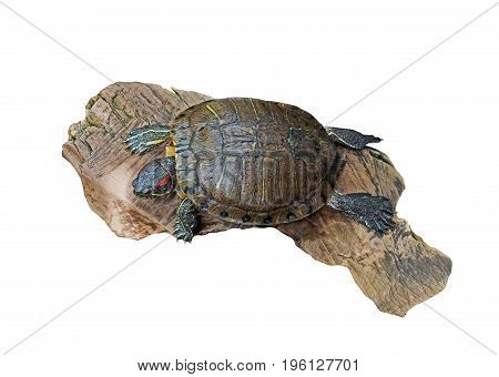 Red Eared Slider Turtle on Old Wood Isolated on White Clipping Path