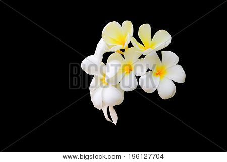 Plumeria flower white - yellow beautiful isolated on black background ( Common name pocynaceae Frangipani Pagoda tree Temple tree )