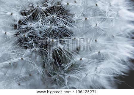 Dandelion with white seeds in macro as a background