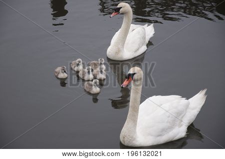 this is an image taken of a family of swans heading down a canal
