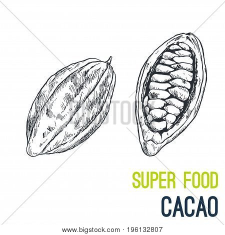 Cacao bean. Super food hand drawn sketch vector illustration.